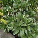 Heliotropium foertherianum Celota