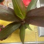 Cordyline fruticosa Leaf