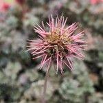 Acaena microphylla