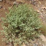 Adenocarpus cincinnatus