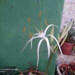 Hymenocallis fragrans