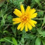 Leontodon hispidus Kwiat