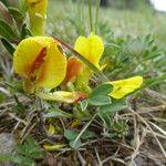 Cytisus ratisbonensis