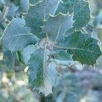 Quercus coccifera