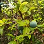 Prunus domestica Fruit