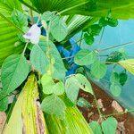 Asystasia gangetica Leaf