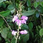 Dioclea malacocarpa