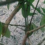 Clitoria ternatea Feuille