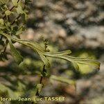 Asplenium x alternifolium