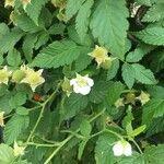 Rubus rosifolius