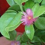 Aptenia cordifolia Flower