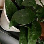 Hoya carnosa List