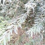 Salix alba Blatt