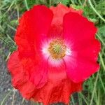 Papaver rhoeas Flower