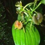 Liparis caulescens