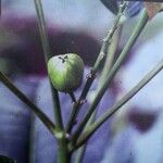Croton tiglium