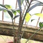 Salacca affinis