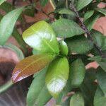 Ochna integerrima Leaf