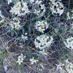 Hormathophylla spinosa