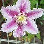 Clematis x jackmanii Flor