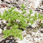 Loeflingia squarrosa