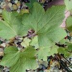 Ribes valdivianum