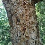 Quercus suber Bark