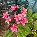 Plumeria rubra Flower