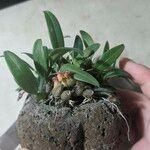 Bulbophyllum japonicum Tapa