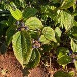 Clidemia hirta Fruit
