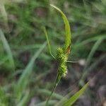 Carex pallescens