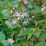 Begonia acutifolia