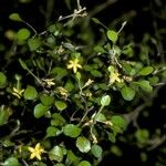 Argophyllaceae