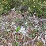 Amelanchier ovalis Fleur