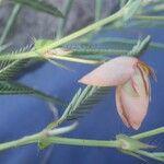 Croton argenteus