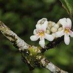 Solanum aphyodendron