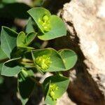 Euphorbia duvalii