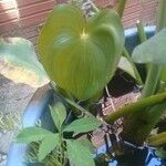 Eichhornia paniculata