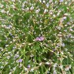 Limonium bellidifolium Pflanze
