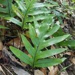 Phymatosorus scolopendria Foglia