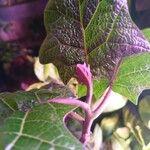 Solanum sessiliflorum