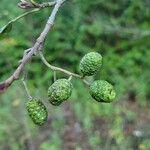 Alnus glutinosa Gyümölcs