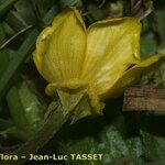 Ranunculus cordiger