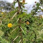 Acacia hockii Écorce