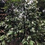 Polyalthia cinnamomea