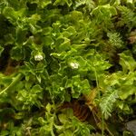 Stellaria weddellii