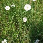 Convolvulus arvensis Flower