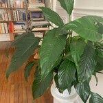 Spathiphyllum blandum 葉