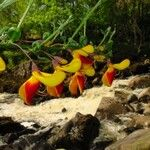 Cytisus decumbens