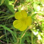 Ranunculus allegheniensis